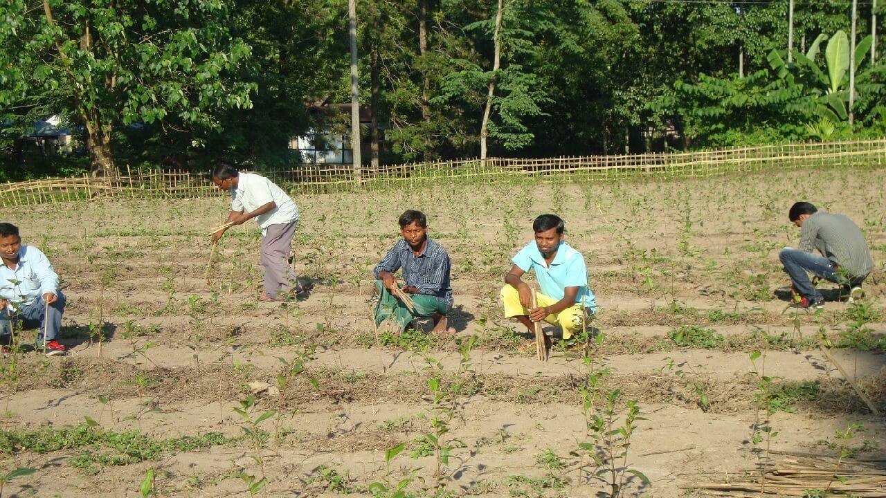 Faire Teeplantage September 2014 - Pflanzen der Teebaeume