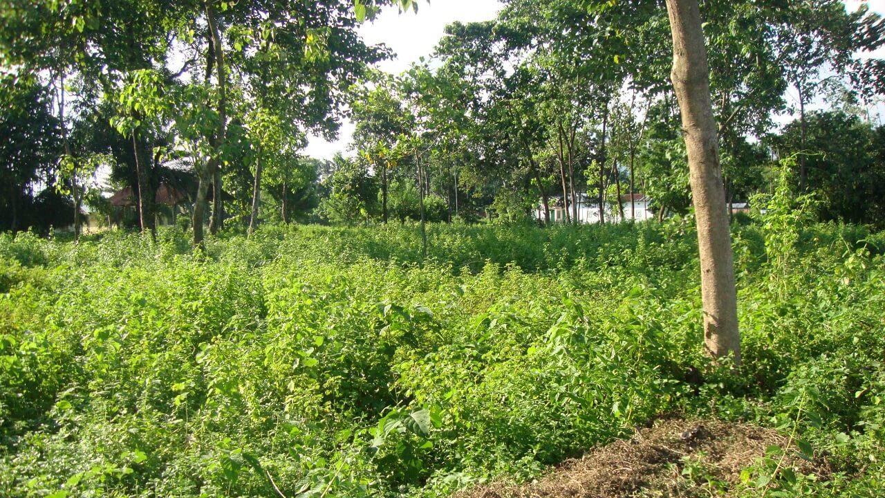 Faire Teeplantage September 2014 - verwuchertes Feld
